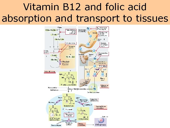 Vitamin B 12 and folic acid absorption and transport to tissues