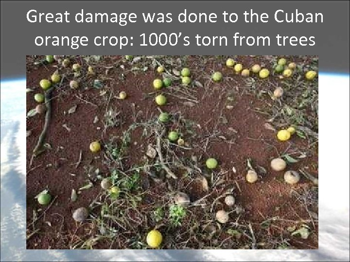 Great damage was done to the Cuban orange crop: 1000's torn from trees