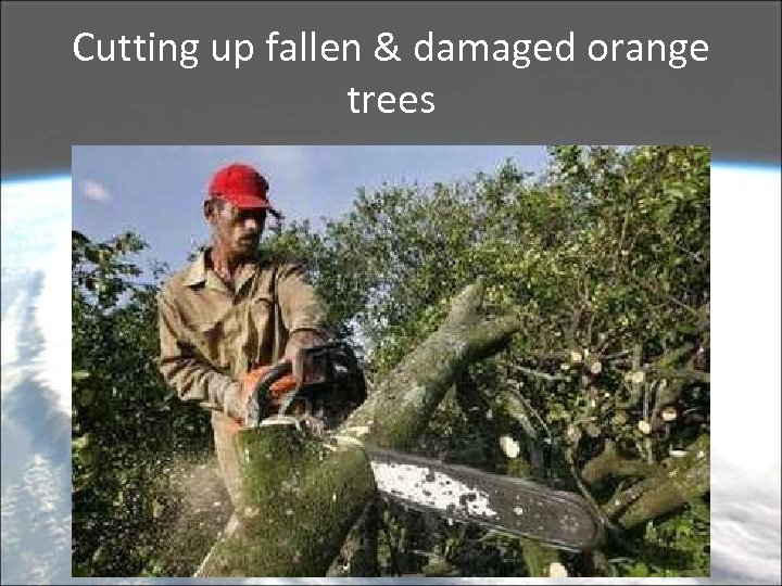 Cutting up fallen & damaged orange trees