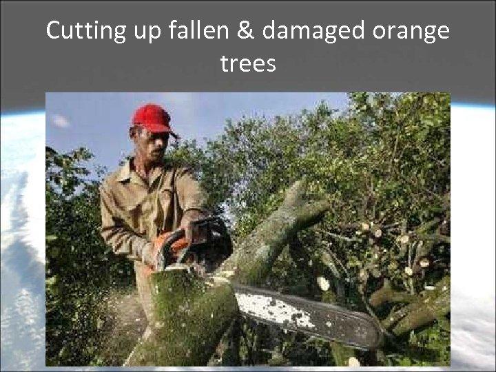 Cutting up fallen & damaged orange trees