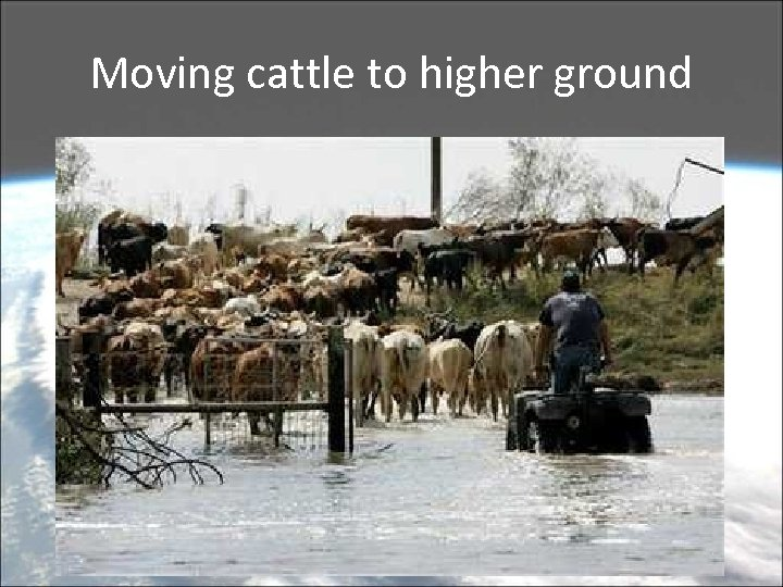 Moving cattle to higher ground
