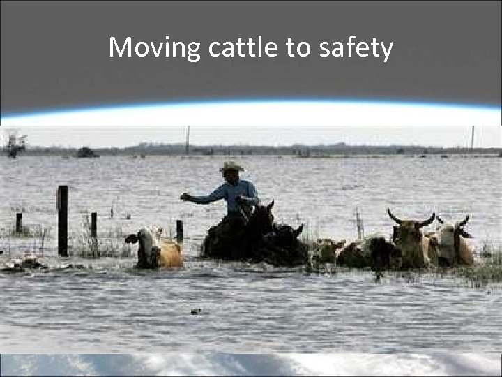 Moving cattle to safety