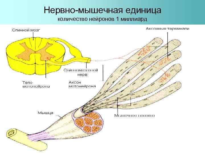 Нервно-мышечная единица количество нейронов 1 миллиард
