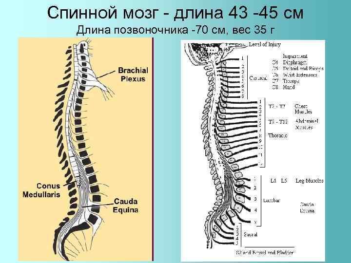 Спинной мозг - длина 43 -45 см Длина позвоночника -70 см, вес 35 г