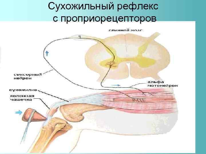 Сухожильный рефлекс с проприорецепторов