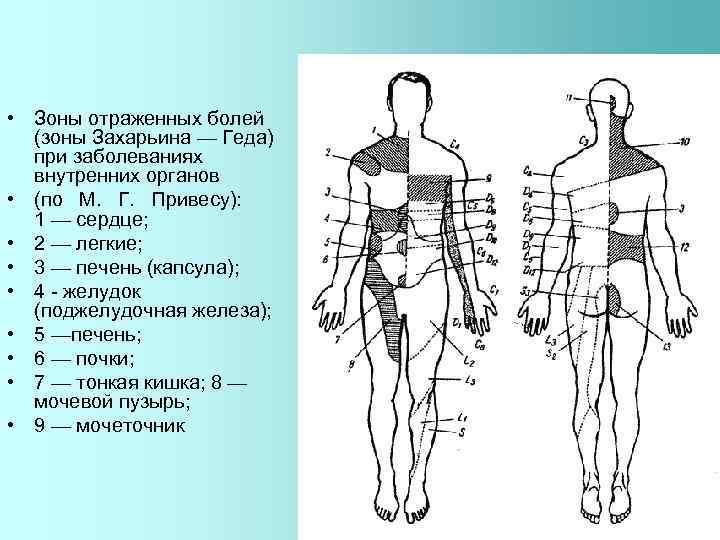 • Зоны отраженных болей (зоны Захарьина — Геда) при заболеваниях внутренних органов •