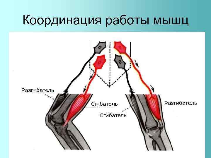 Координация работы мышц