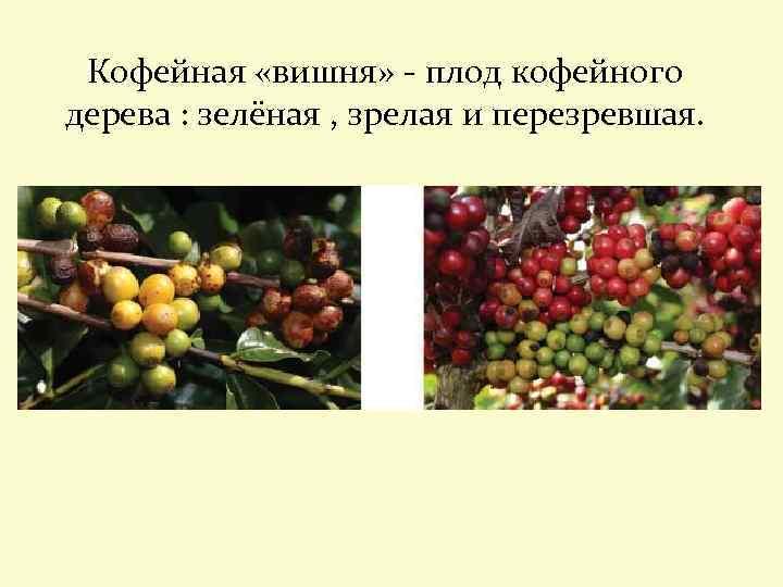 Кофейная «вишня» - плод кофейного дерева : зелёная , зрелая и перезревшая.