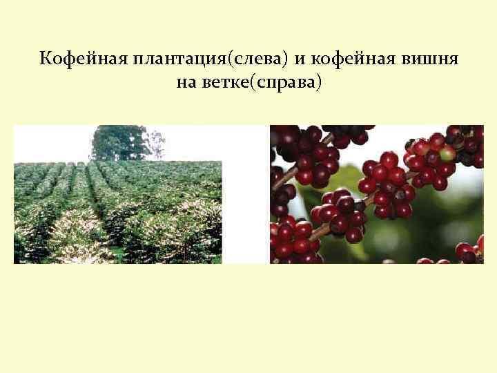 Кофейная плантация(слева) и кофейная вишня на ветке(справа)