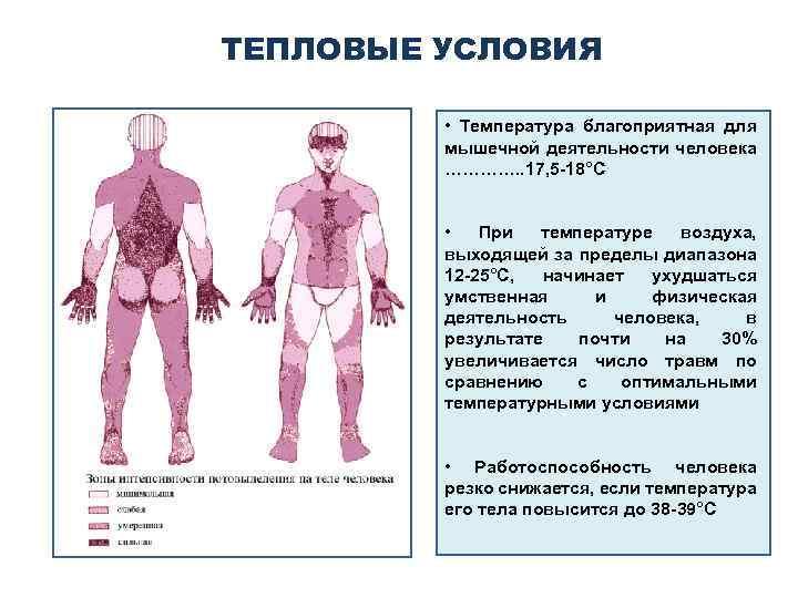 ТЕПЛОВЫЕ УСЛОВИЯ • Температура благоприятная для мышечной деятельности человека …………. . 17, 5 -18°С