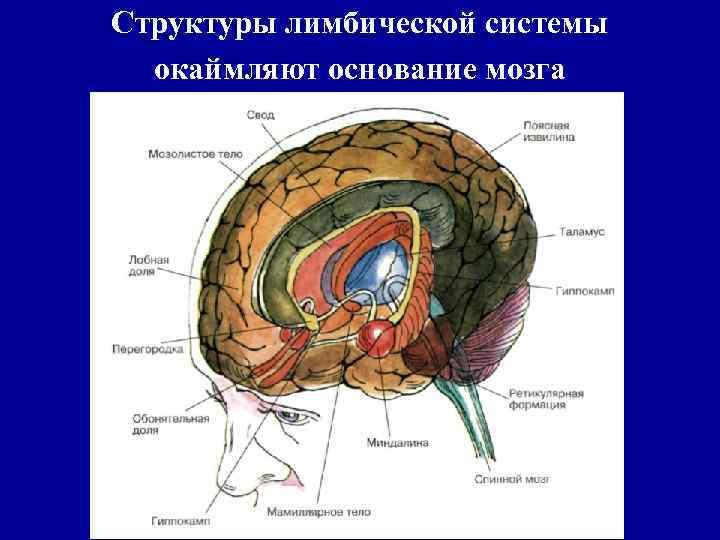 Структуры лимбической системы окаймляют основание мозга