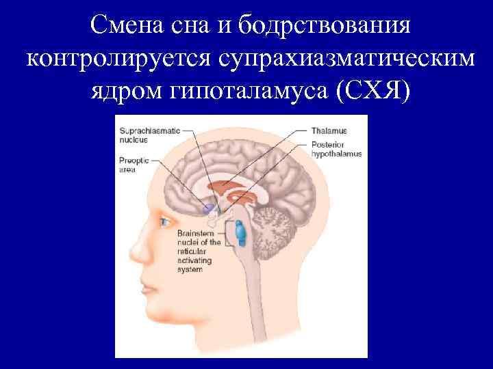 Смена сна и бодрствования контролируется супрахиазматическим ядром гипоталамуса (СХЯ)
