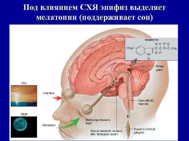 Под влиянием СХЯ эпифиз выделяет мелатонин (поддерживает сон)