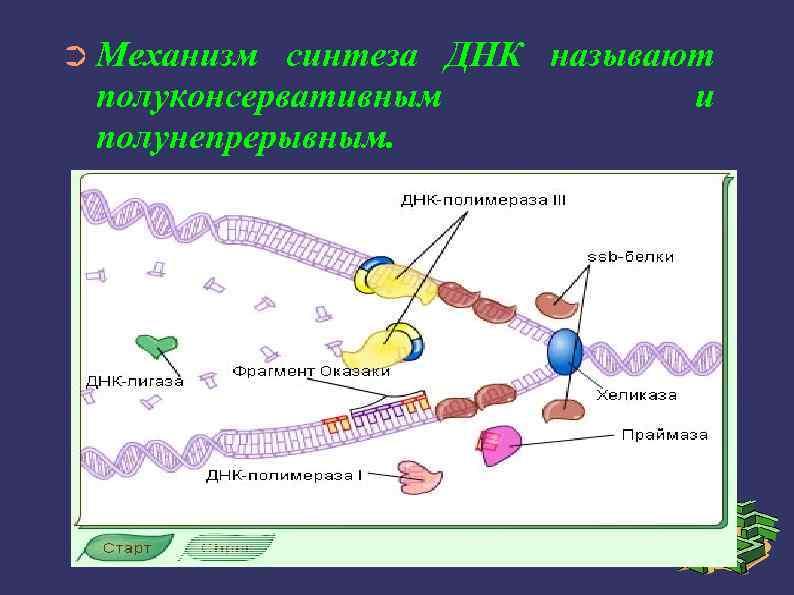 ➲ Механизм синтеза ДНК называют полуконсервативным и полунепрерывным.