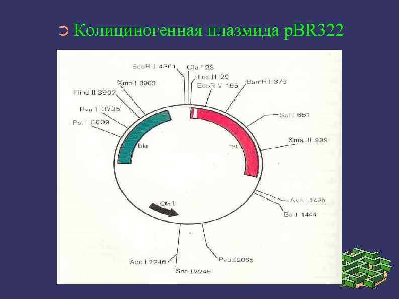 ➲ Колициногенная плазмида p. BR 322