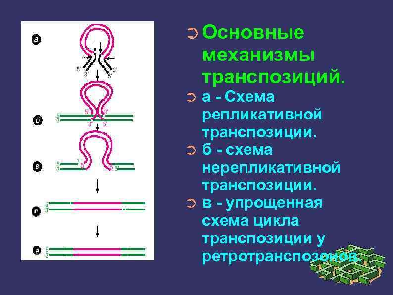 ➲ Основные механизмы транспозиций. а - Схема репликативной транспозиции. ➲ б - схема нерепликативной