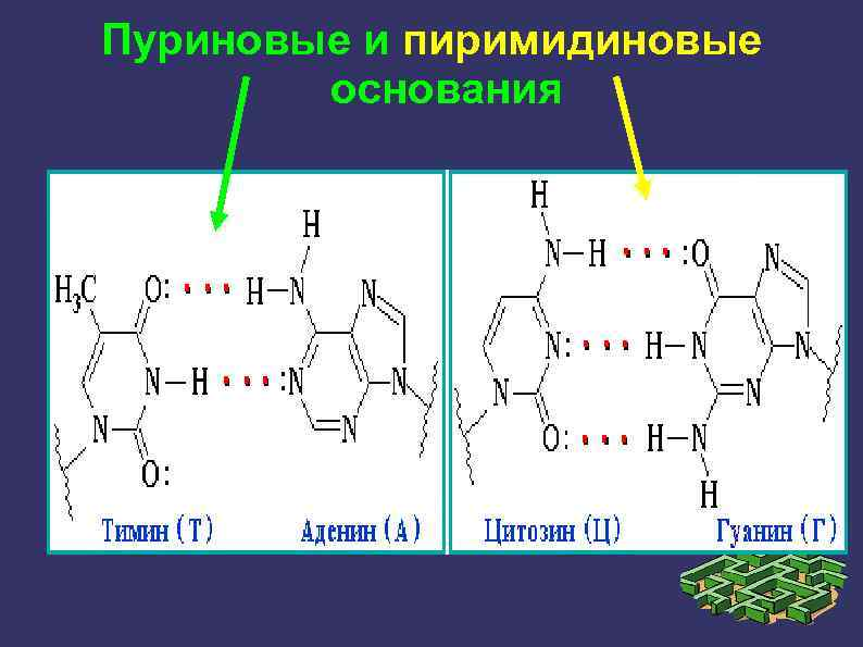 Пуриновые и пиримидиновые основания