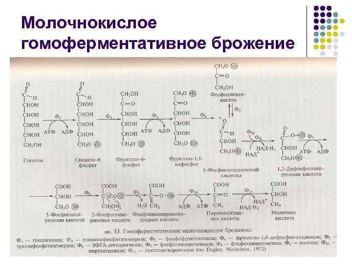 Молочнокислое гомоферментативное брожение