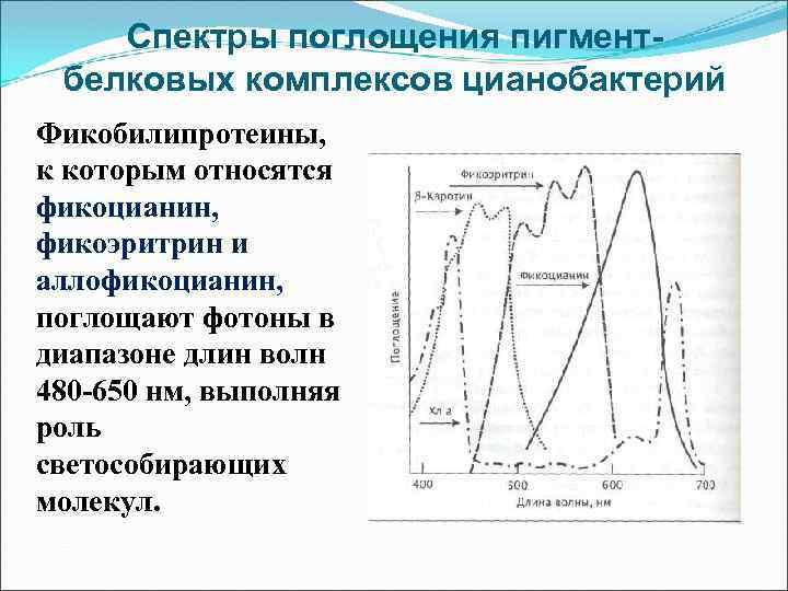 Спектры поглощения пигментбелковых комплексов цианобактерий Фикобилипротеины, к которым относятся фикоцианин, фикоэритрин и аллофикоцианин, поглощают