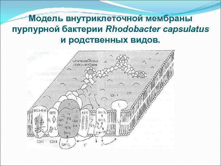 Модель внутриклеточной мембраны пурпурной бактерии Rhodobacter capsulatus и родственных видов.