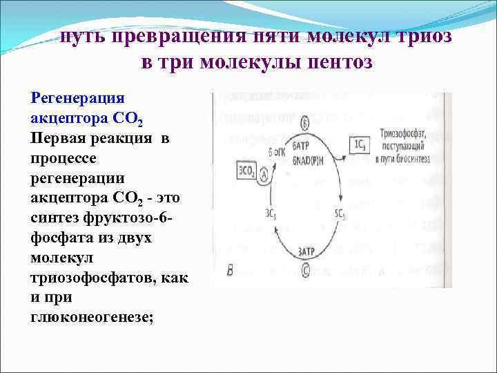 путь превращения пяти молекул триоз в три молекулы пентоз Регенерация акцептора СО 2 Первая
