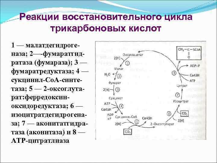 Реакции восстановительного цикла трикарбоновых кислот 1 — малатдегидрогеназа; 2—-фумаратгидратаза (фумараза); 3 — фумаратредуктаза; 4