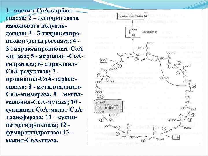 1 - ацетил-Со. А-карбоксилаза; 2 – дегидрогеназа малонового полуальдегида; 3 - 3 -гидроксипропионат-дегидрогеназа; 4