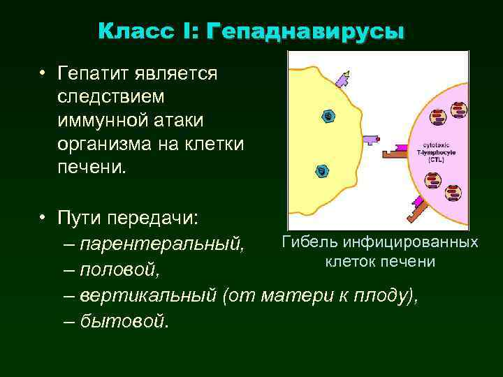 Класс I: Гепаднавирусы • Гепатит является следствием иммунной атаки организма на клетки печени. •