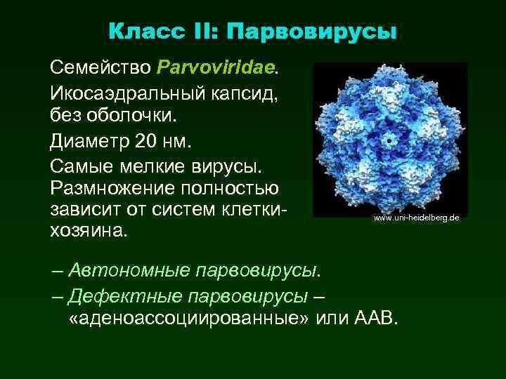Класс II: Парвовирусы Семейство Parvoviridae. Икосаэдральный капсид, без оболочки. Диаметр 20 нм. Самые мелкие