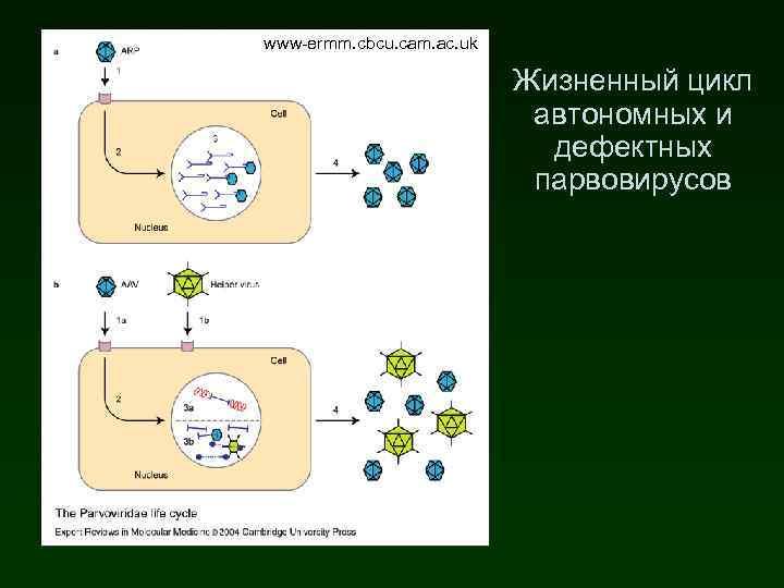 www-ermm. cbcu. cam. ac. uk Жизненный цикл автономных и дефектных парвовирусов