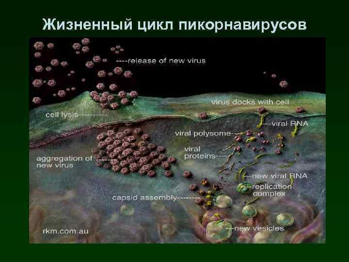 Жизненный цикл пикорнавирусов
