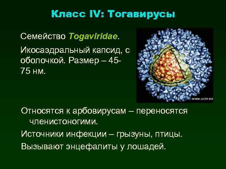 Класс IV: Тогавирусы Семейство Togaviridae. Икосаэдральный капсид, с оболочкой. Размер – 4575 нм. www.