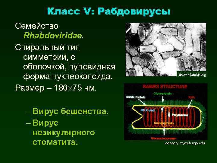 Класс V: Рабдовирусы Семейство Rhabdoviridae. Спиральный тип симметрии, с оболочкой, пулевидная форма нуклеокапсида. Размер