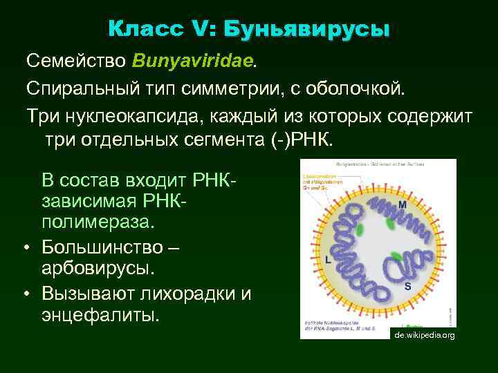 Класс V: Буньявирусы Семейство Bunyaviridae. Спиральный тип симметрии, с оболочкой. Три нуклеокапсида, каждый из
