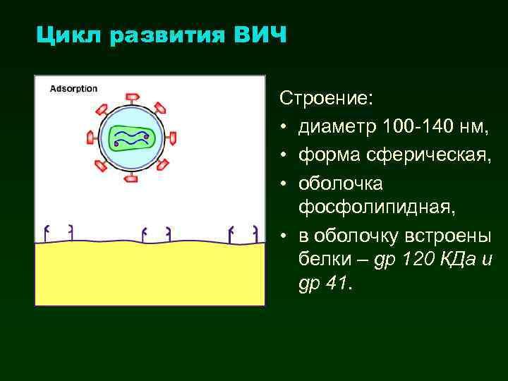 Цикл развития ВИЧ Строение: • диаметр 100 -140 нм, • форма сферическая, • оболочка
