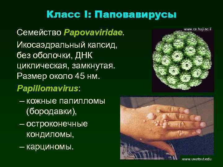 Класс I: Паповавирусы Семейство Papovaviridae Икосаэдральный капсид, без оболочки, ДНК циклическая, замкнутая. Размер около