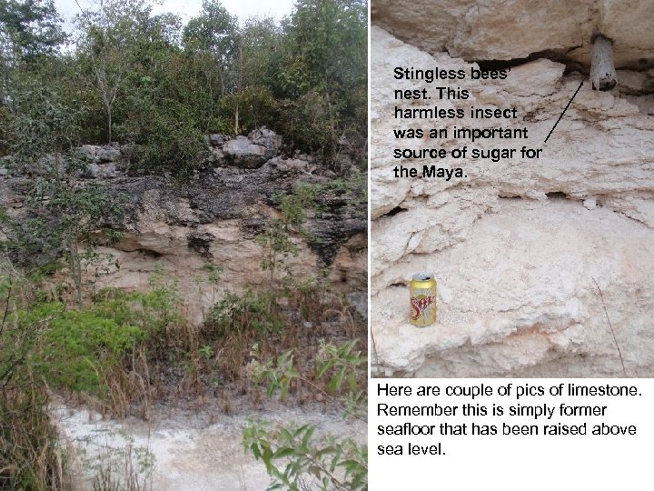 Stingless bees' nest. This harmless insect was an important source of sugar for the