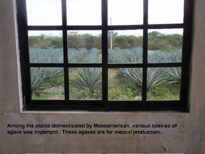 Among the plants domesticated by Mesoamerican, various species of agave wee important. These agaves