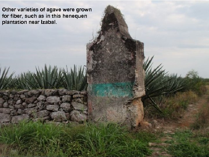 Other varieties of agave were grown for fiber, such as in this henequen plantation