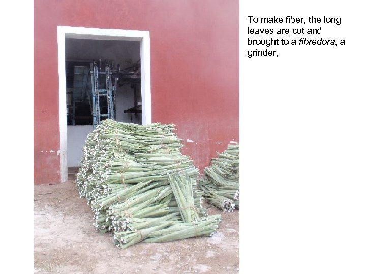 To make fiber, the long leaves are cut and brought to a fibredora, a