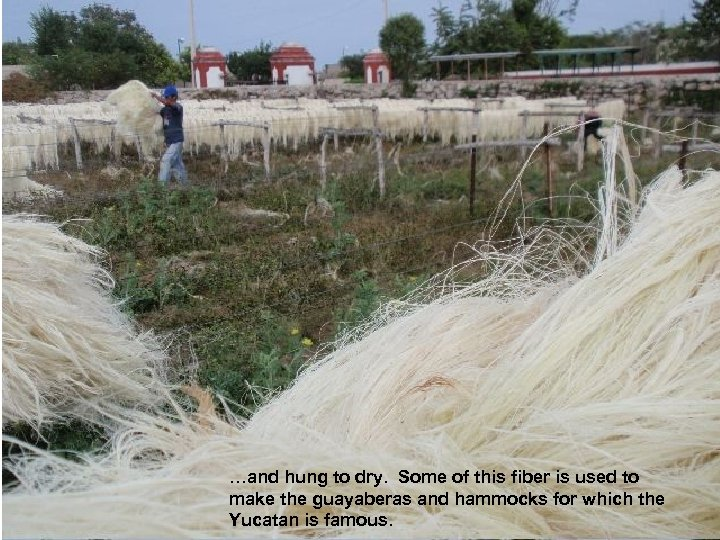 …and hung to dry. Some of this fiber is used to make the guayaberas