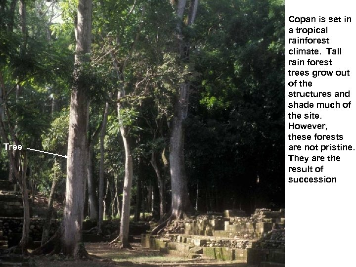 Tree Copan is set in a tropical rainforest climate. Tall rain forest trees grow
