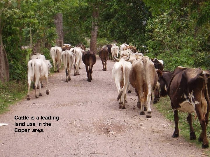 Cattle is a leading land use in the Copan area.