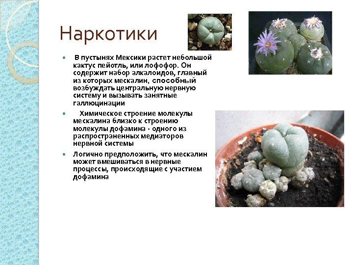 Наркотики В пустынях Мексики растет небольшой кактус пейотль, или лофофор. Он содержит набор алкалоидов,