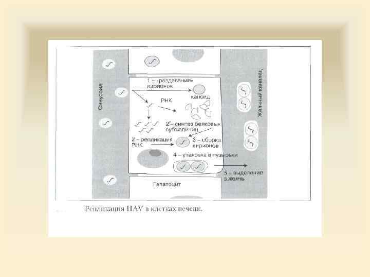 Вирусные гепатиты лекции для медсестер