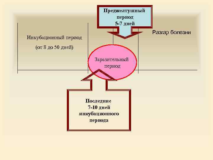 Преджелтушный период 5 7 дней Разгар болезни Инкубационный период (от 8 до 50 дней)