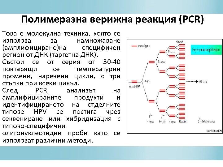 Полимеразна верижна реакция (PCR) Това е молекулна техника, която се използва за намножаване (амплифициране)на