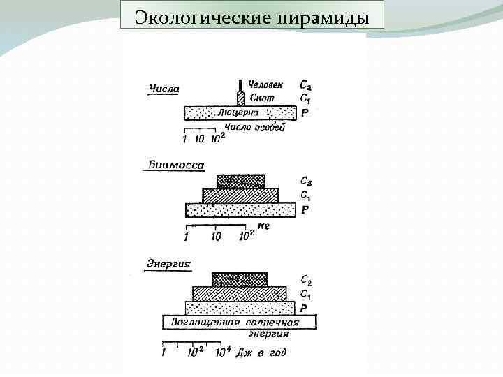 Экологические пирамиды