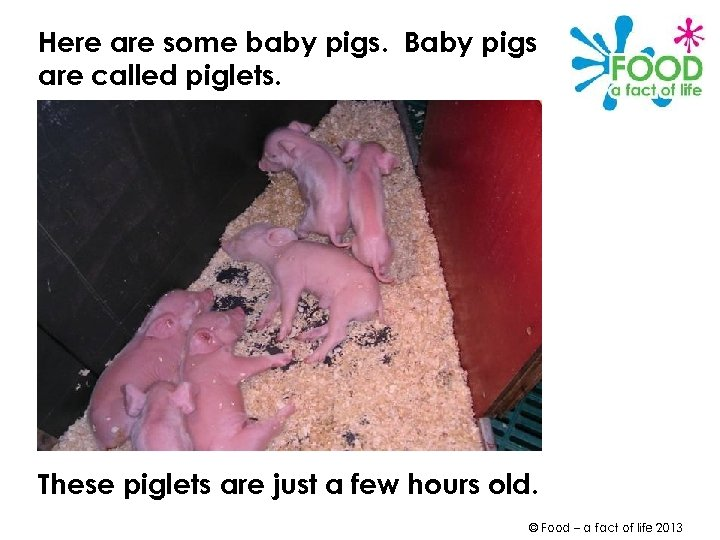 Here are some baby pigs. Baby pigs are called piglets. These piglets are just