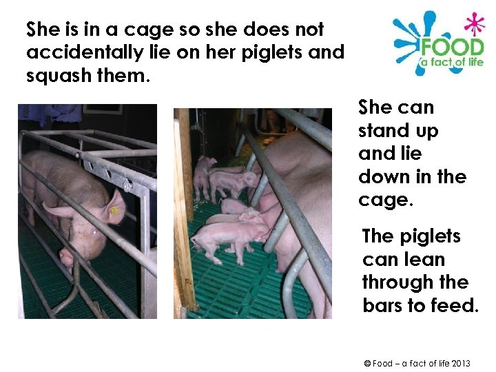She is in a cage so she does not accidentally lie on her piglets
